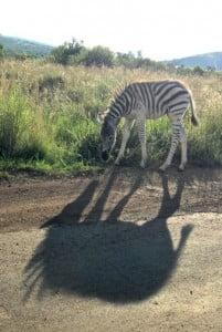 Zebra en schaduw